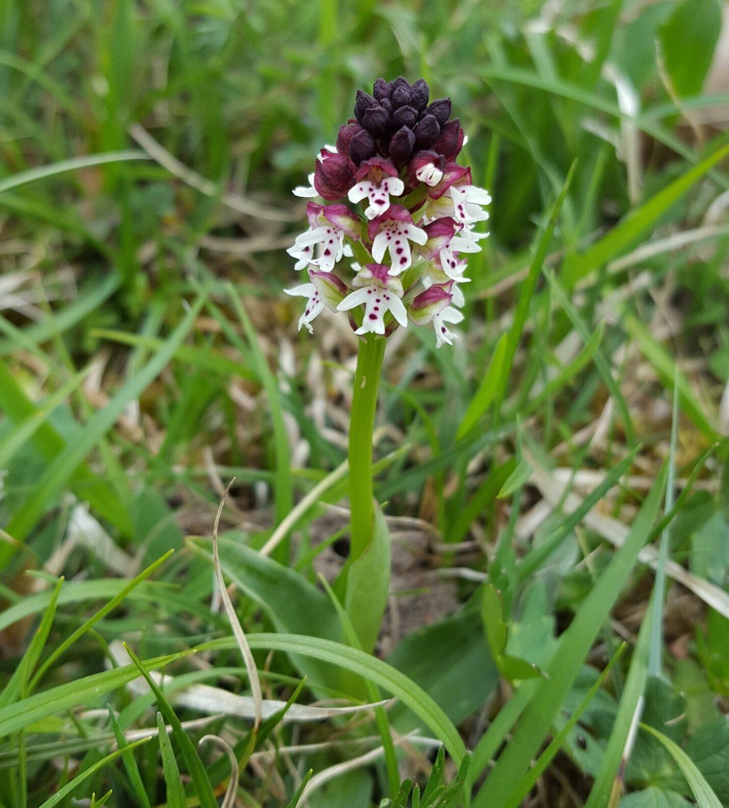 Blume Pflanze Orchidee schwärzliches Knabenkraut Orchis ustulata